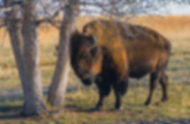 Bison at Rocky Mountain Arsenal Wildlife Refuge