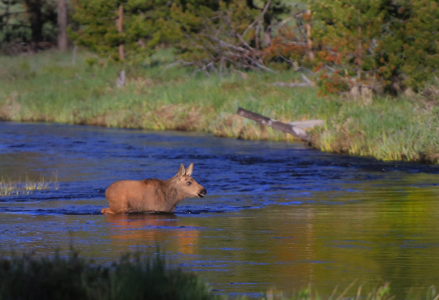 Mosse calf crossing the Colorado River in Rocky Mountain national Park