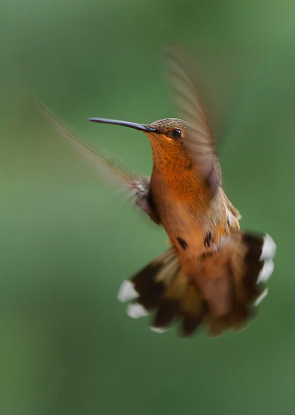 humming bird hummingbird colorado rufous