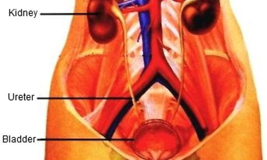 urinary-system_edited_edited.jpg
