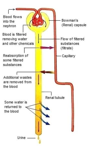 urine-formation.jpg