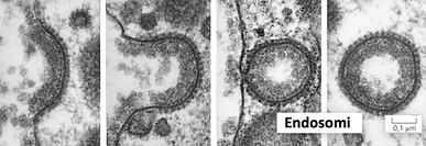 Endosomi.png