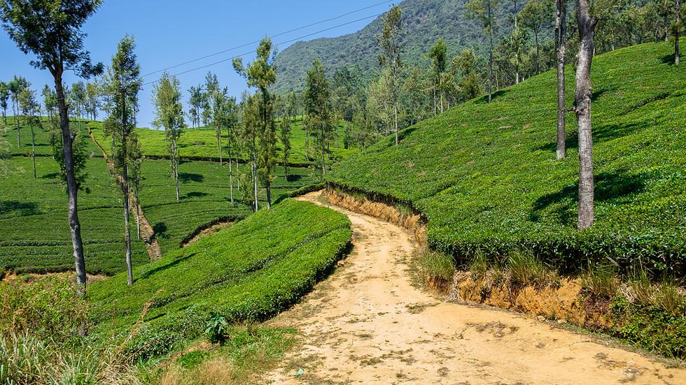Tea-Plantation-3.jpg