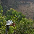 yunnan china tea 10.JPG