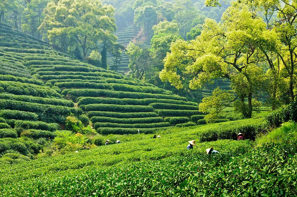 Mountain tea garden.jpg