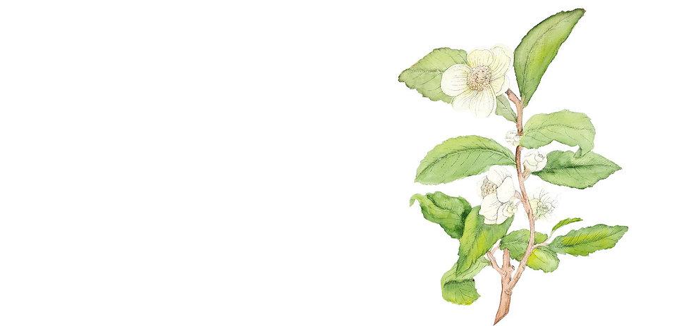 Camellia-Sinensis-illustration-2.jpg