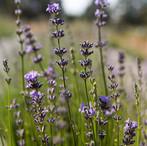 Lavender_10.jpg