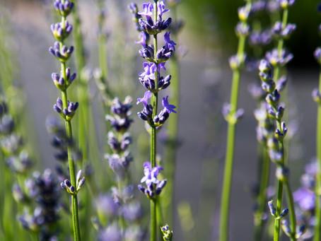 Central Oregon Lavender Field Trip
