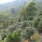yunnan china tea 4.jpg