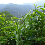 yunnan china tea 8.jpg