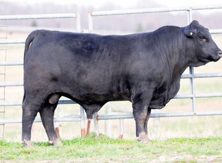 Arkansas Bull Sale Online Only