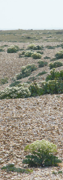 Vegetated shingle and perry buoy