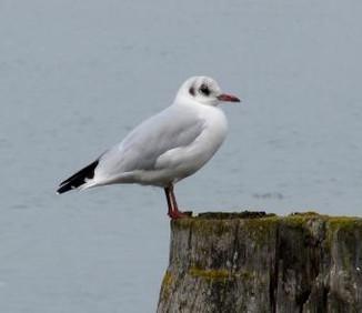 Black Headed Gull - Larus ridibundus