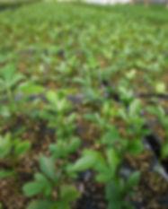tecnocitrus. Imagen de una planta joven para demostrar la alta calidad en todo el proceso productivo
