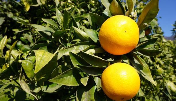 mandarinos
