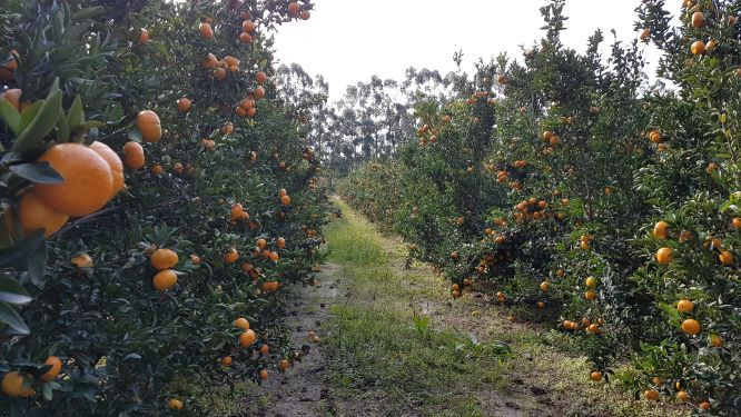mandarinos de alta calidad