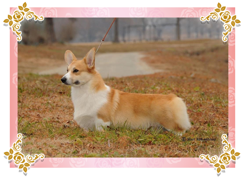 INT.CH,JKC.CH CHIARA OF LOVELY AGNES JP (キアラ)2014年10月18日生  SIRE: INT.CH,JKC.CH,G.CH(AM) EVER GREEN OF YUMI ANJO JP (グリーン)  DAM: JKC.CH BERNADETTE OF LOVELY AGNES JP(小雪)