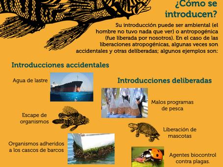 ¿Cómo se introducen las especies exóticas?
