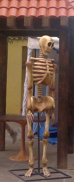 Esqueleto fibra de vidrio