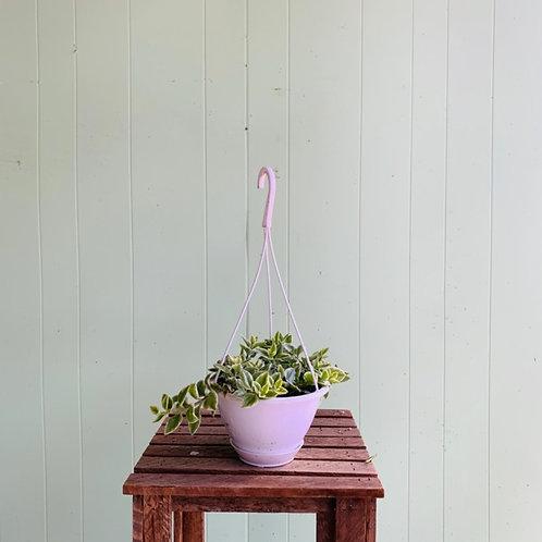 Mesembryanthemum cordifolium - Heart Leaf Ice Plant