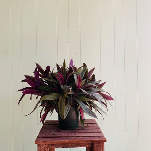 Tradescantia spathacea - Moses In the Cradle