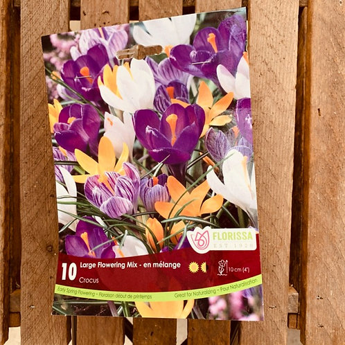 Crocus - Large Flowering Mix