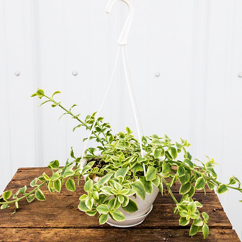 Heart Leaf Ice Plant