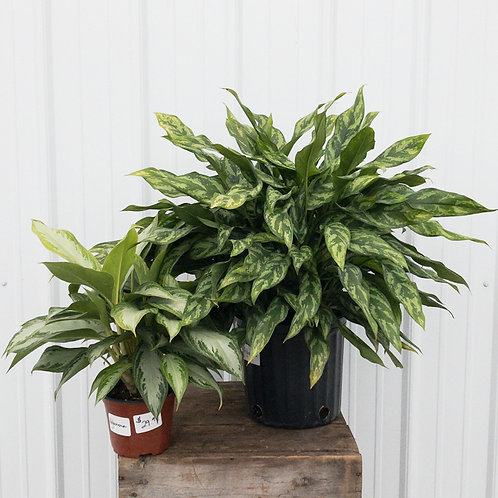 Aglaonema - Chinese Evergreen