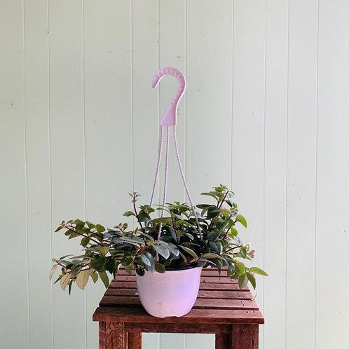Aeschynanthus radicans - Lipstick Plant