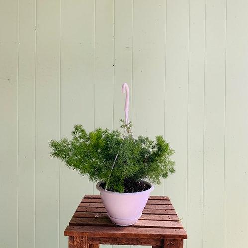 Asparagus densiflorus - Asparagus Fern