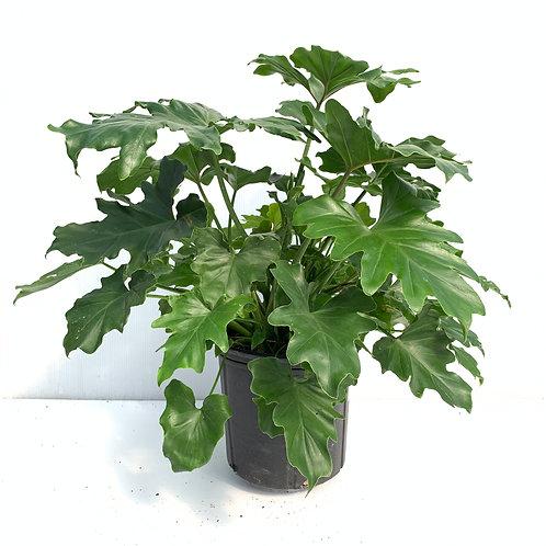 Philodendron Selloum - Leoy