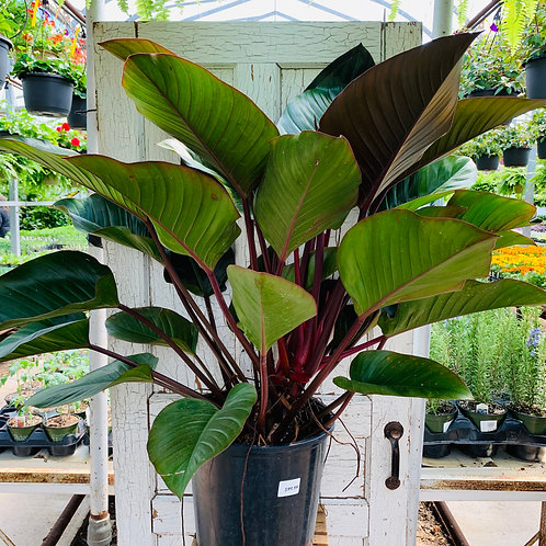 Philodendron - Red Congo
