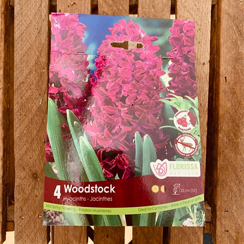 Hyacinths - Woodstock