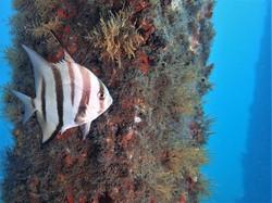 Juv Spadefish 3