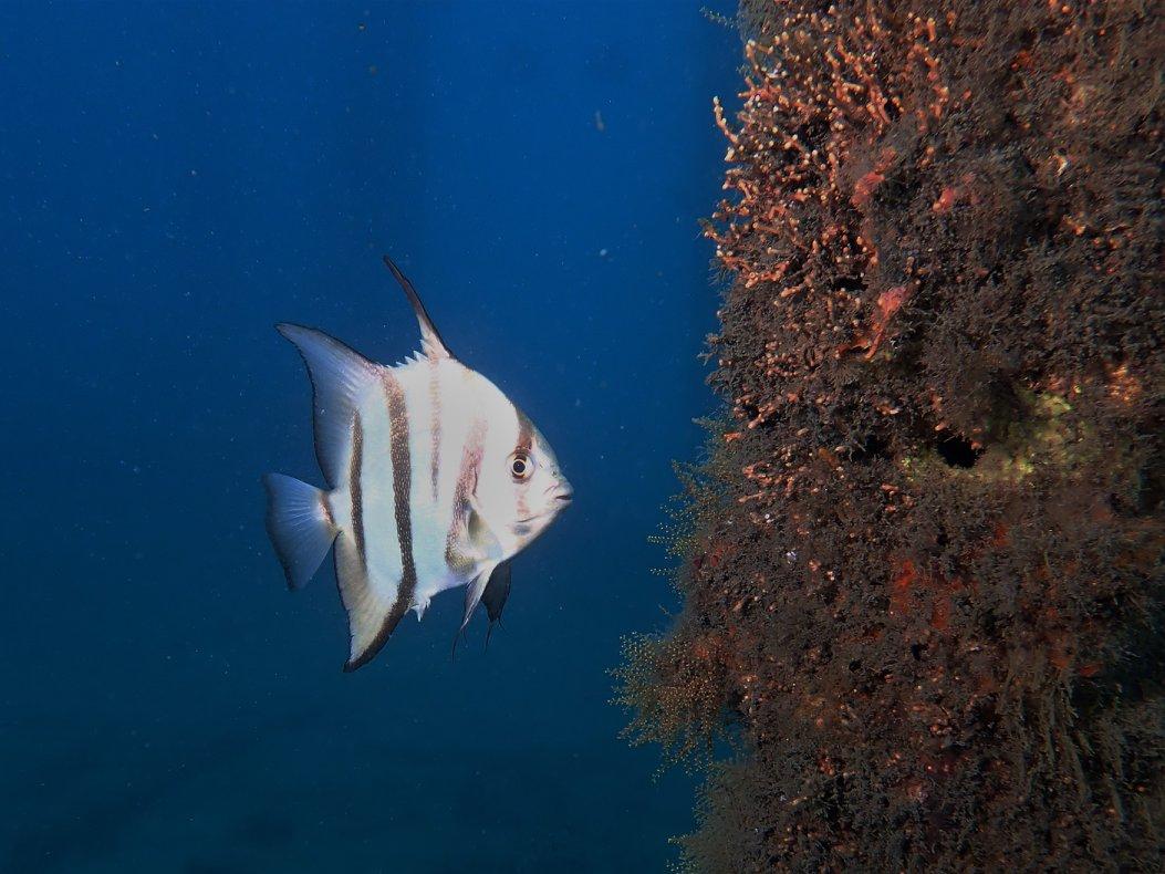 Juv Spadefish