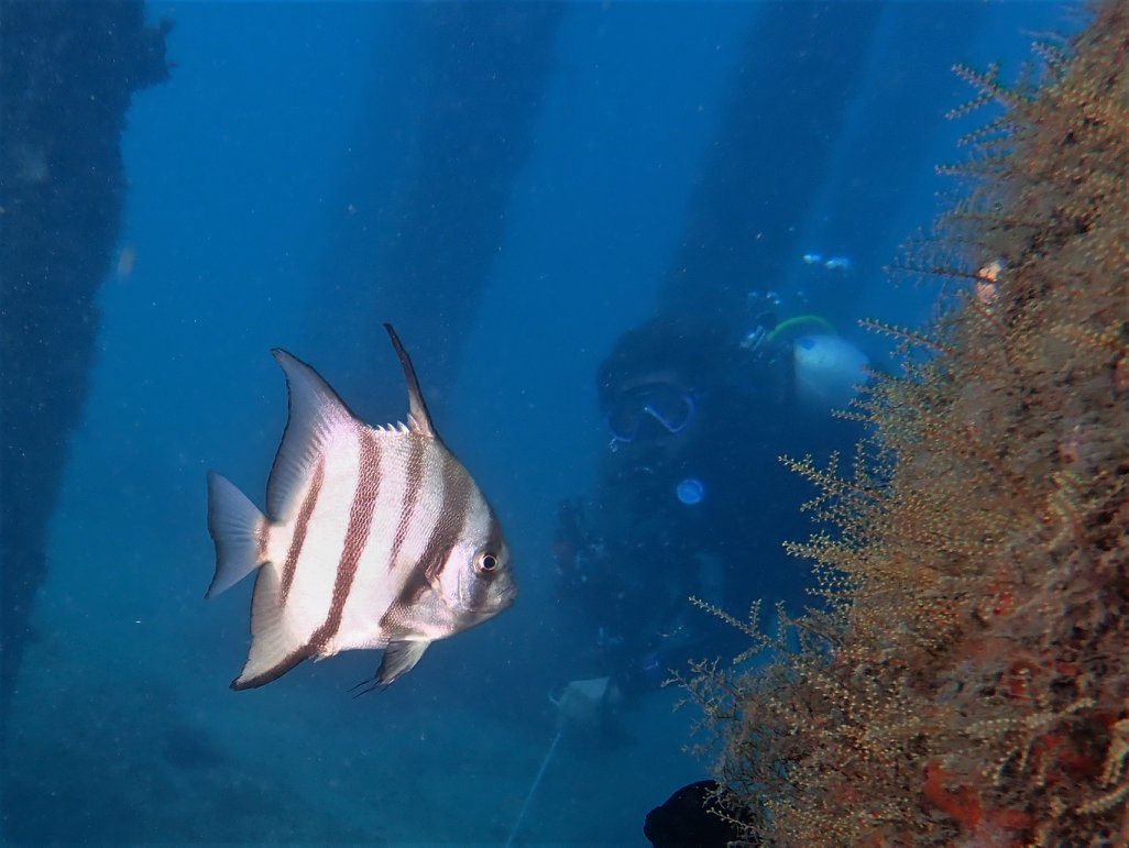Juv Spadefish 2