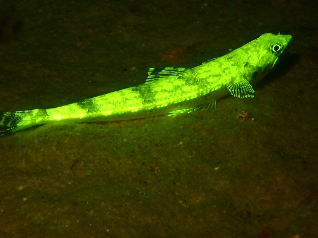Lizardfish UV