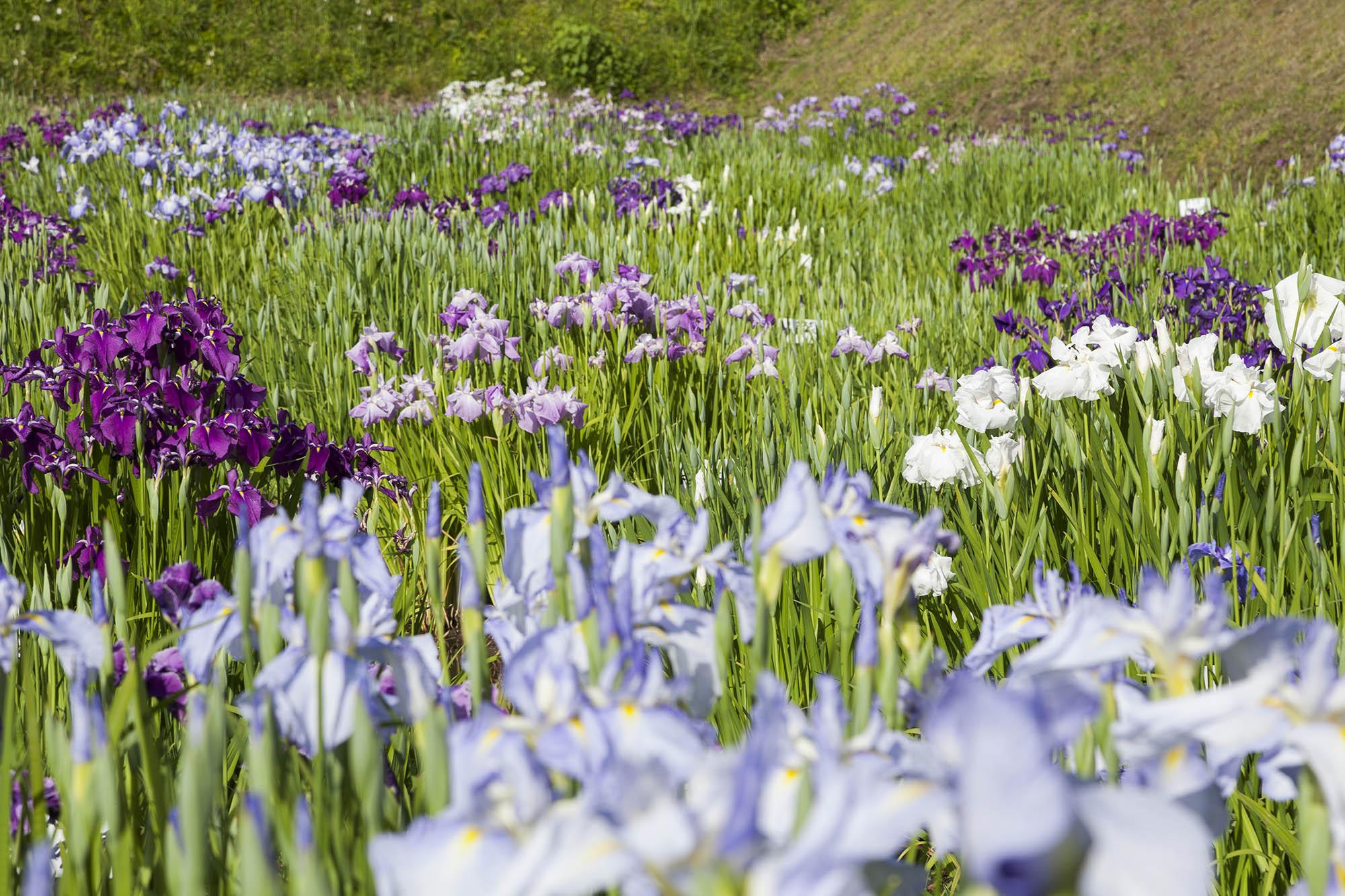 中国地方最多種400種の花しょうぶ