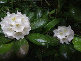 石楠花(シャクナゲ)発見