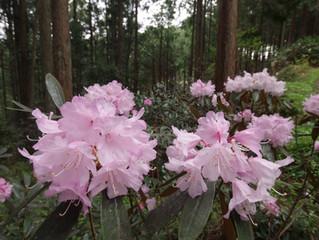 著莪の花とシャクナゲ