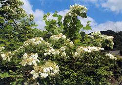 ドウダンツツジの花々