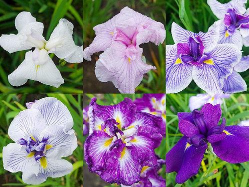 花しょうぶ6品種