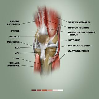 Anatomy of the Knee.jpg