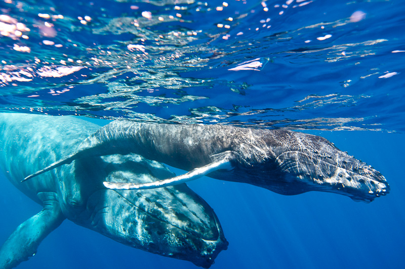 Baleineau et sa mère (La Réunion)
