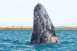 Baleine grise (spy hopping)