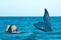 Tête et caudale de baleine franche