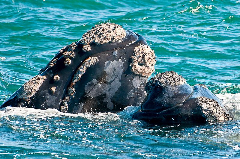 Têtes de baleines franches