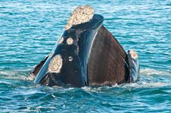Fanons de baleine franche