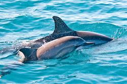 Dauphin commun (Delphinus delphis)