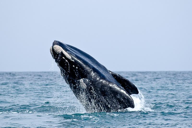 Saut de baleine franche